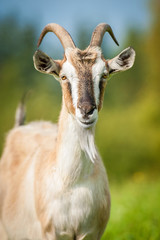 Portrait of a goat in summer
