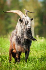 Adult goat with beautiful horns and long beard
