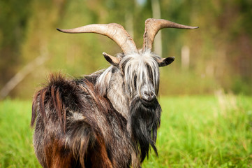 Portrait of a goat with beautiful horns looking back