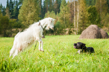 Goat playing with a dog on the pasture
