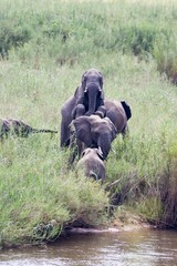 A mating herd of wild Elephants near a river