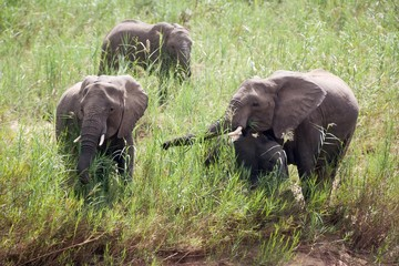 A small herd of elephants feeding in reeds near a river