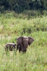 A wild mother Elephant suckling her calf near a river