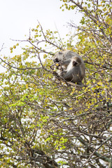 A wild mother Vervet Monkey sits with her baby in a tree