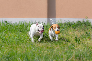 Beagle and bulldog playing with ball