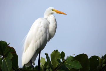 White Heron on a tree in Costa Rica, Белая цапля