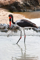 A large wild Saddle-billed Stork bird hunting in a river