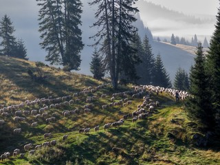 herd of sheeps ina the morning in Bihor mountains in Romania