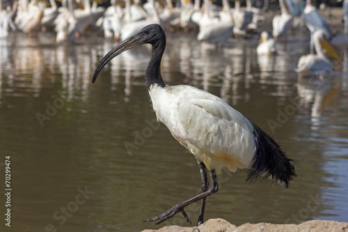 canvas print picture Ibis