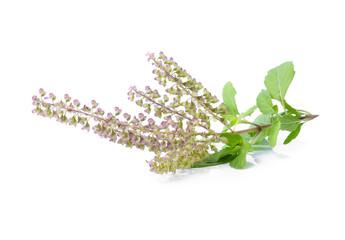 Basil flower on white background