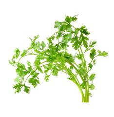 Fresh organic raw coriander leaf isolated on white background