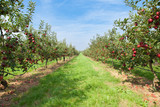 Fototapety apple trees loaded with apples in an orchard in summer