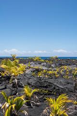 Vegetation on the lava, Hawaii
