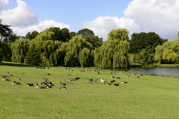 birds on meadows in Leeds castle park, Maidstone, England