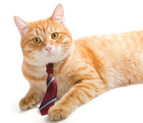 Serious  cat with a  tie