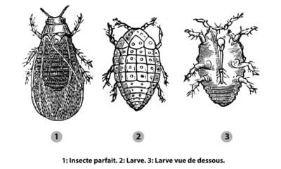 Phylloxéra
