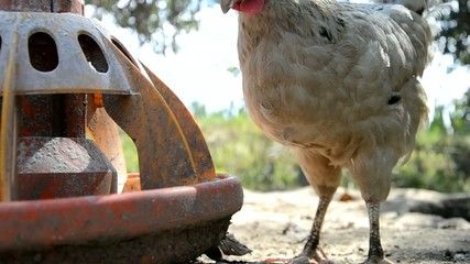 Chickens eat grains on farm