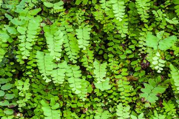 Young fern leaf.