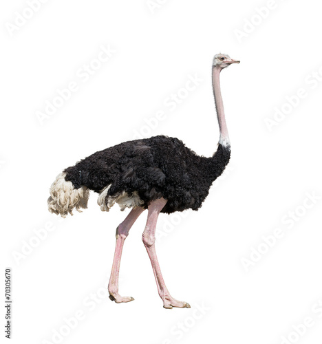 Aluminium Vogel ostrich full length isolated on white