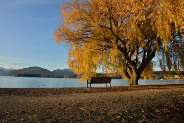 Trees in the colors during fall, Lake Wanaka