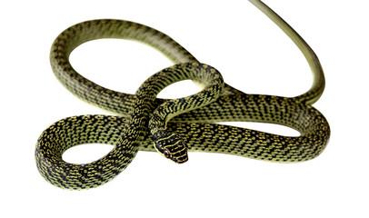 green snake on white background