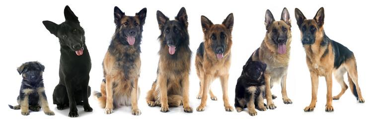 four german shepherds