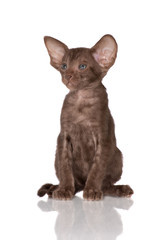 adorable brown oriental kitten