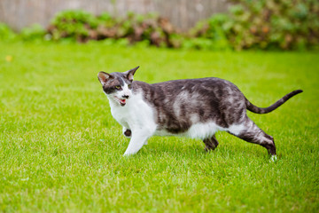 oriental cat outdoors