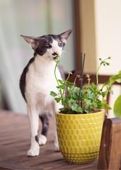 oriental cat