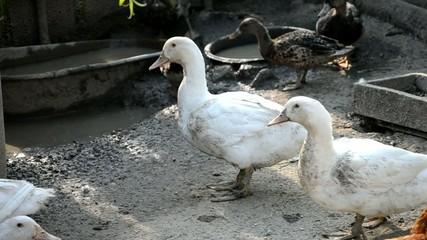 Ducks on the farm