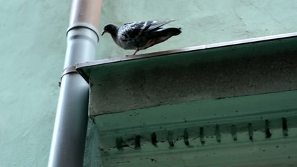 pigeon on the roof edge - eaves