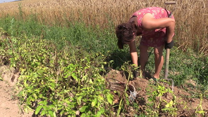 woman dig potato with fork and put in wicker basket