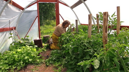 grandmother woman weed tomato plants in greenhouse and cat