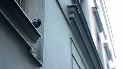 pigeon on the roof edge - windows