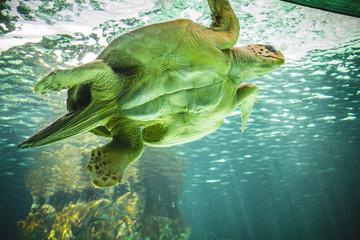 mediterranean, huge sea turtle underwater next to coral reef