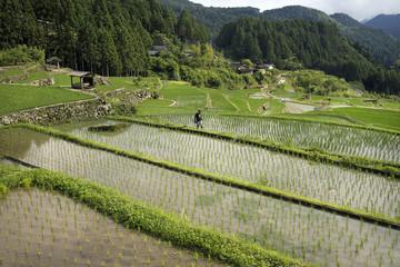 四谷の千枚田(六月)、犬の散歩