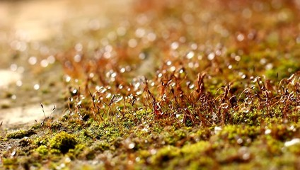 moss grass with dew drops
