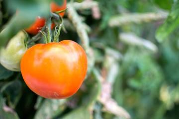 Belle tomate dans un jardin