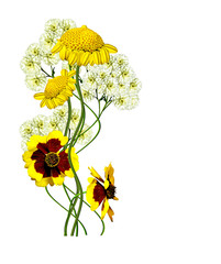 dahlia flowers isolated on white background