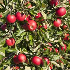 tree full of red ripe apples