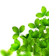 leaf clover on white background