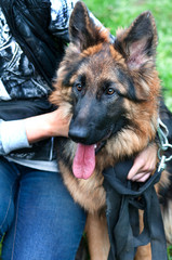 Portrait of a beautiful german shepherd or alsatian dog
