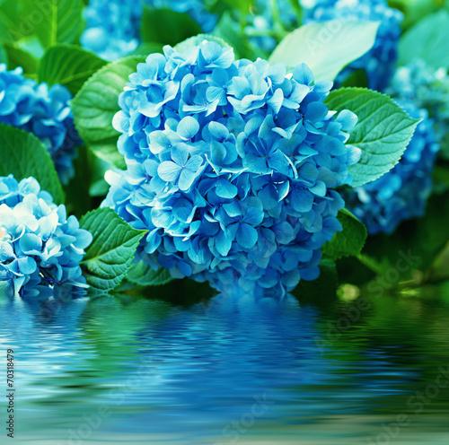Hydrangea flowers - 70318479