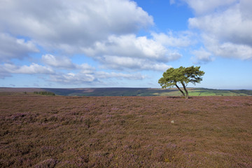 heather and pine tree