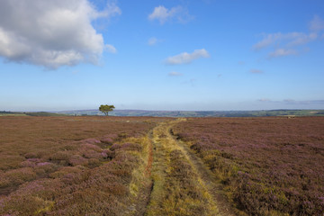 moorland farm track with pine tree