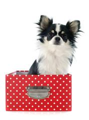 chihuahua in box