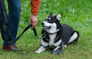 husky dog training - order laying