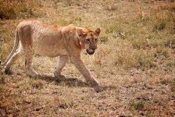 Lionceau de profil nous regarde