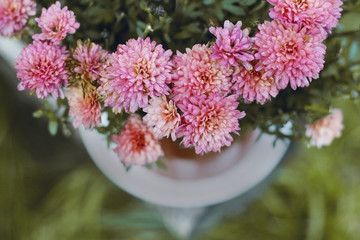Chrysanthemum in a pot on the table