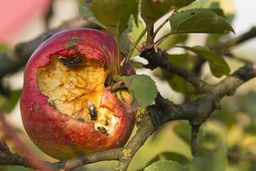 disgusting apple